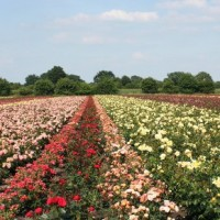 Uetersen — долина роз